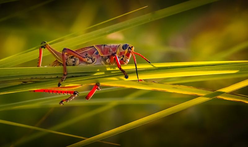 Grasshoppers 59.jpg