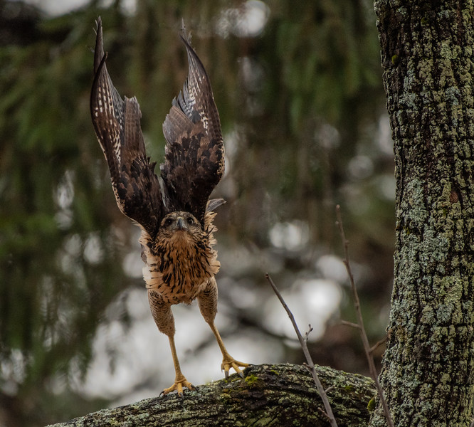 Great Black Hawk high wings
