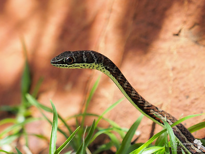 Yellow-bellied Sand Snake