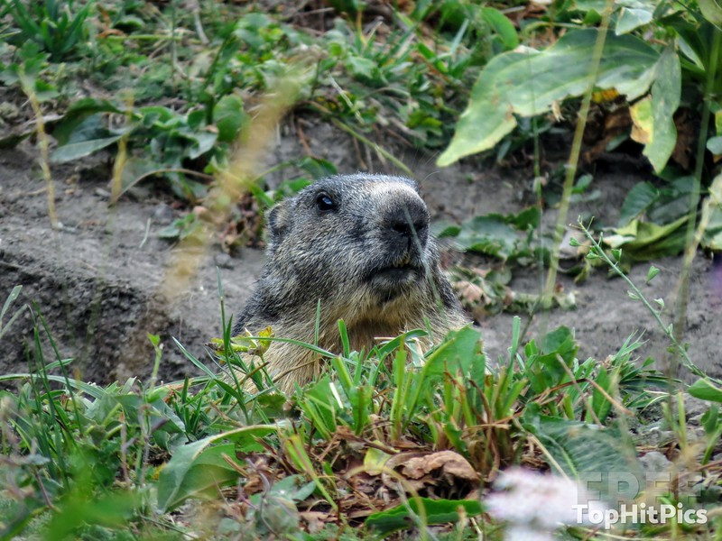 A Wild Marmot near Vetan in the Aosta Valley, Italy