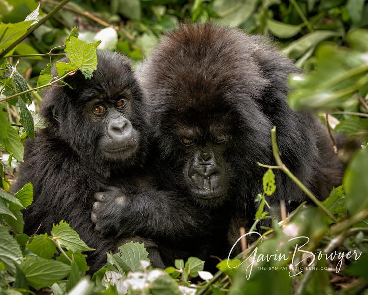 gorillas web-2.jpg