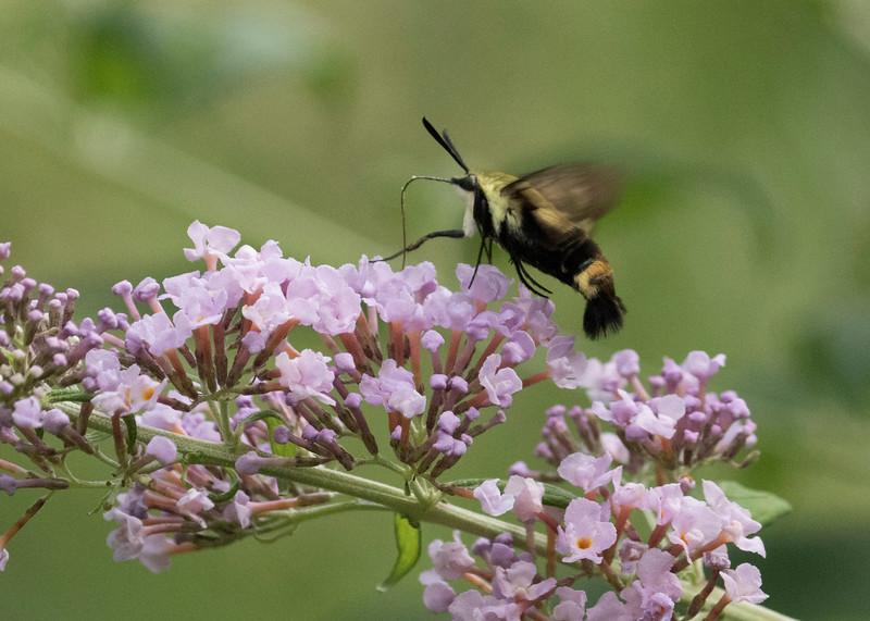 Hummingbird Moth, (Hemaris sp)