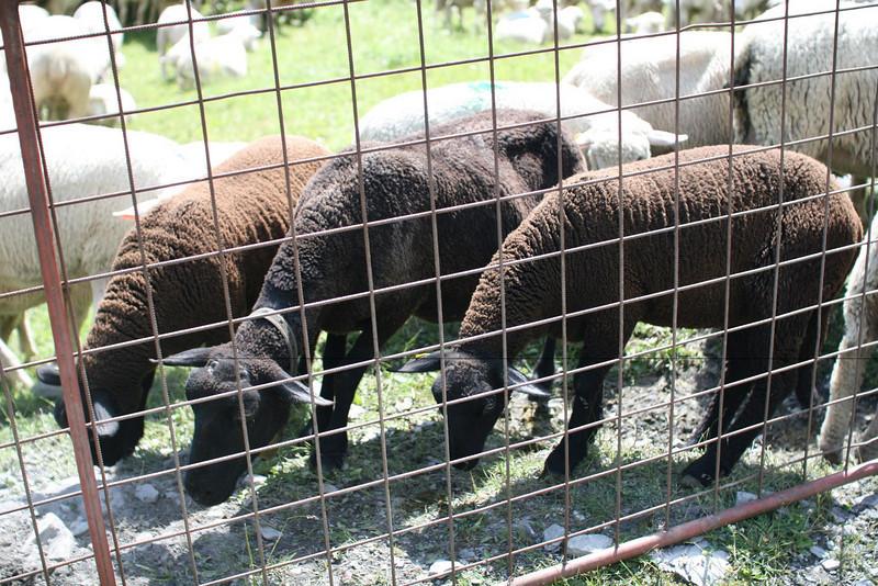 Baa baa black sheep.