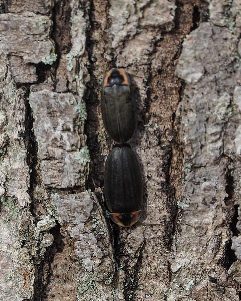 Winter Firefly - Ellychnia corrusca