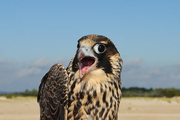 Peregrine Falcon Research 2014