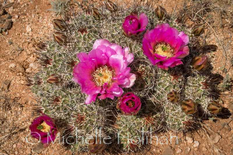 Cactus blooming along the Continental Divide Trail in southern New Mexico.