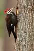 Pileated Woodpecker (Dryocopus pileatus) excavating a hole in Newport News, VA. © 2007 Kenneth R. Sheide