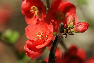 Minamisawa Blossoms