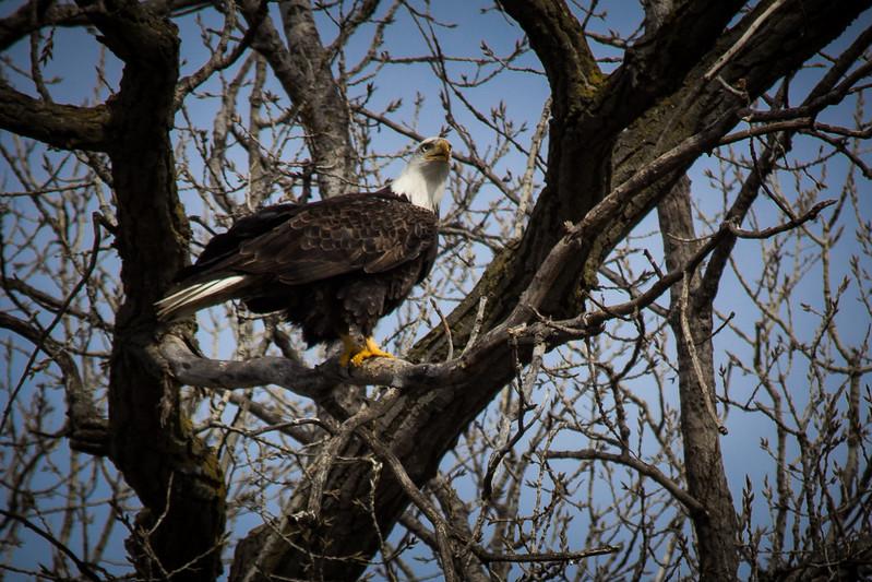 Eagle sitting-7051.jpg