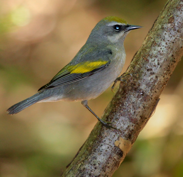 female Golden -winged Warbler