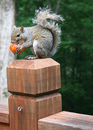 7/15/12 Squirrel robbing tomatoes