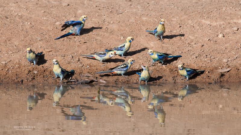 Pale-Headed Rosellas, Musgrave, QLD, Dec 2009.jpg
