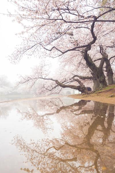 cherryblossomreflection.jpg
