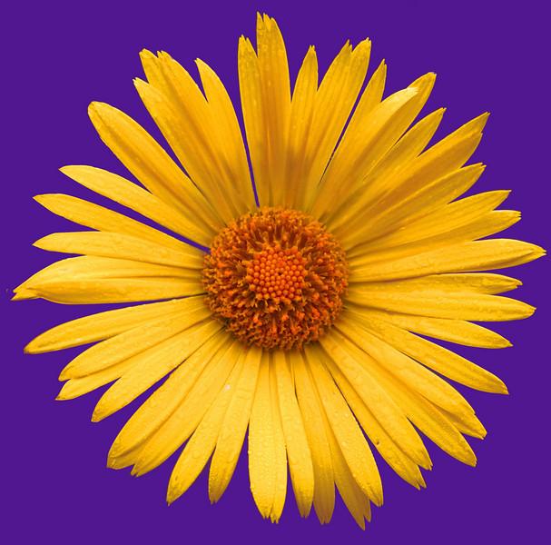 daisy IMG_3326rt purple.jpg