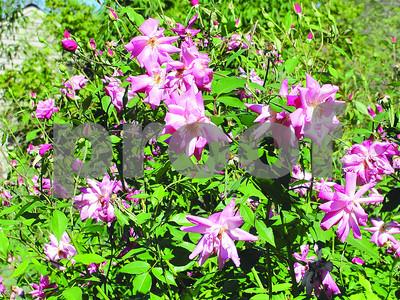 greg-grant-china-roses