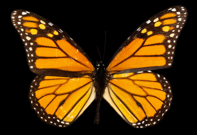 Monarch Butterfly Specimen