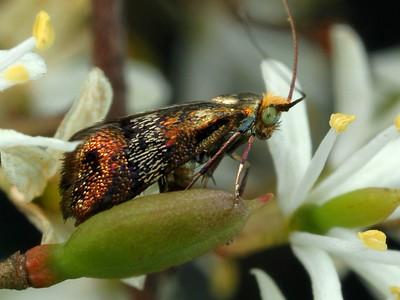 Adelidae - Fairy Moths