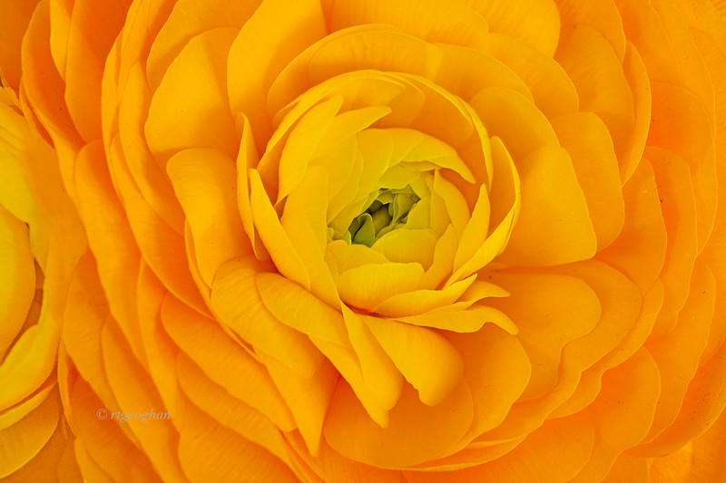 Ranuculus in Orange