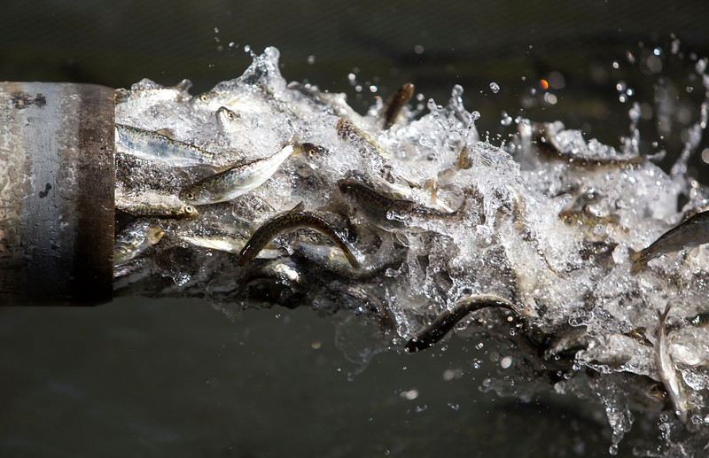 JUVENILE SALMON SHIPPED DOWN SACRAMENTO RIVER