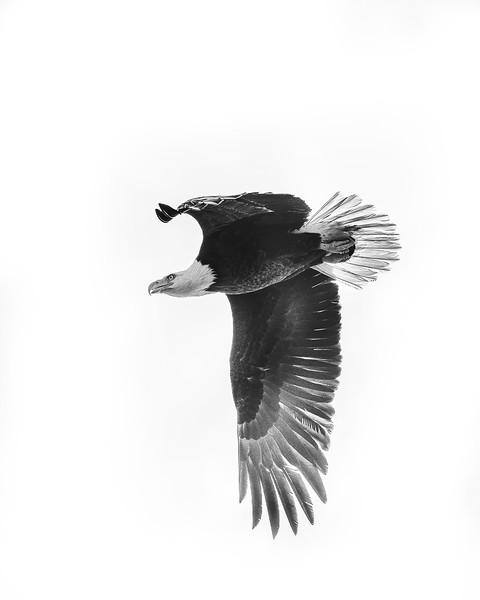 Eagle_DSC9434-copy.jpg
