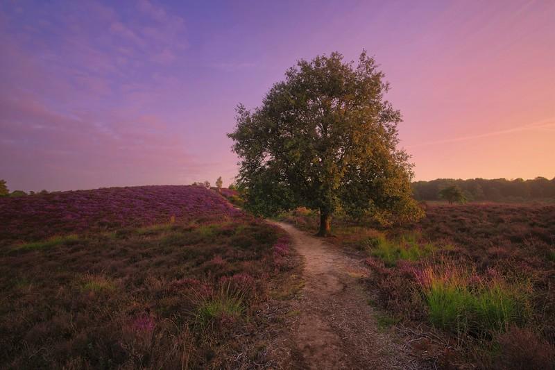 Dutch purple heather