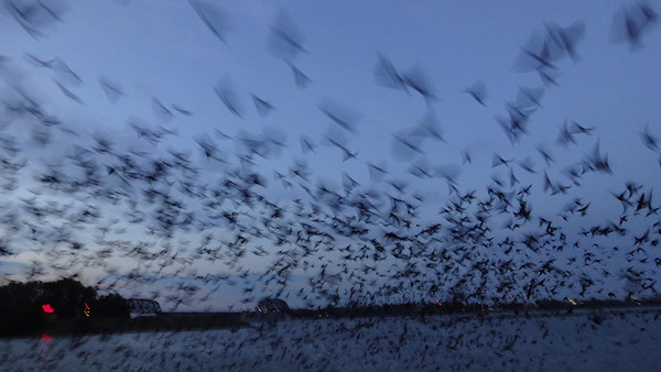 Purple Martin Roost 2013