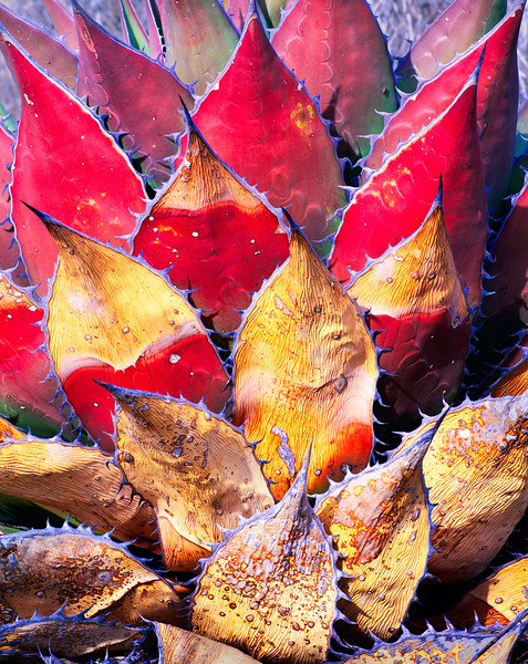 Baja California, Mexico, Sonoran Desert / Century plant,  Agave shawii, with reddened and weathered blades in the Central Desert region of Baja. 22002V5