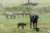 Buffalo and Calf in the Serengeti