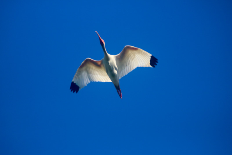 Ibis in Flight with a blue sky