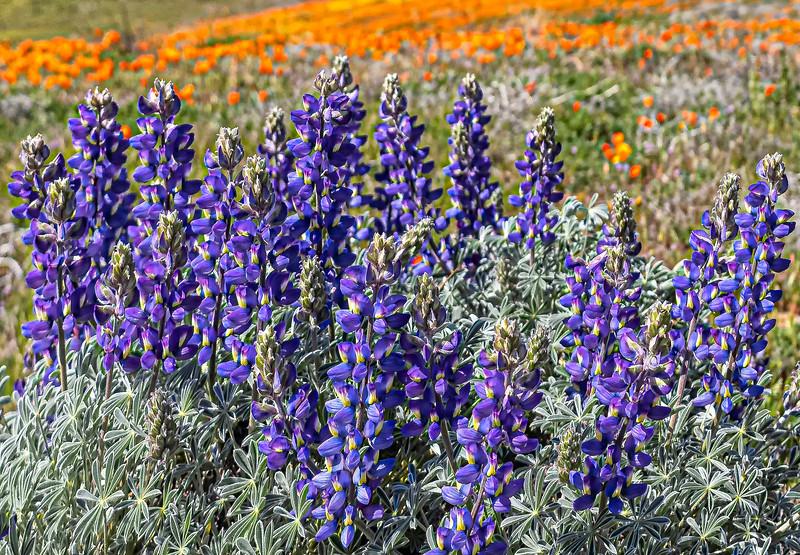 Poppy Reserve_Lupine-1.jpg