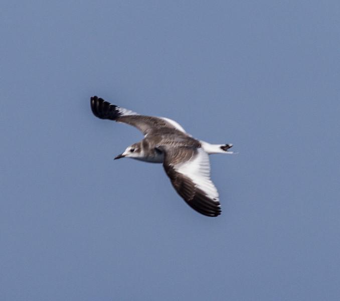 Sabine`s Gull San Diego Waters  2014 10 09 (201410 of 3).CR2