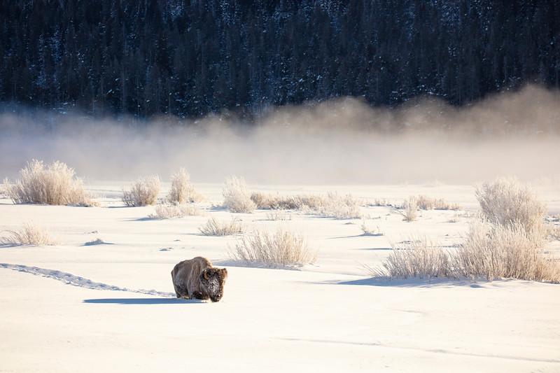 387A9679 Single bison plowing field.jpg