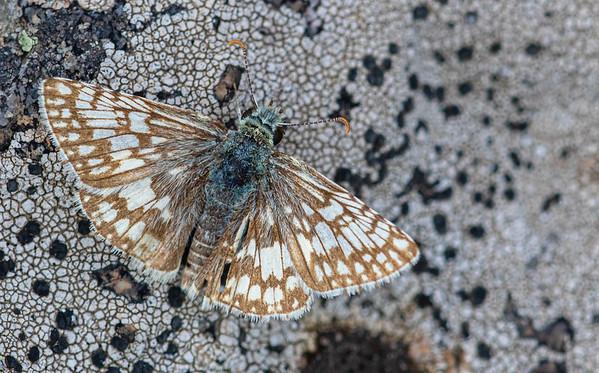 Spread-winged Skipper (Pyrginae)