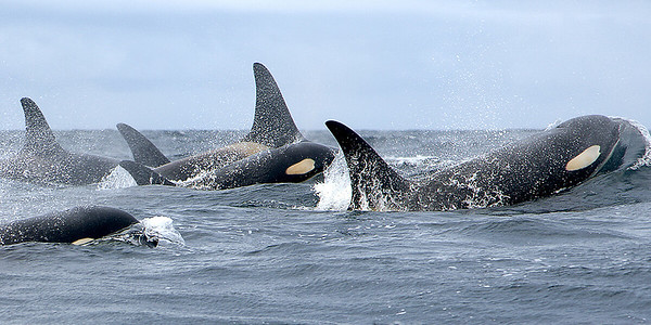 Southern Resident Killer Whales with Lynne Barre