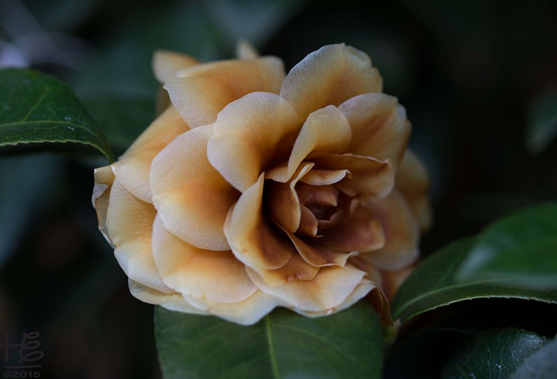 Camellia tarnished from the freeze