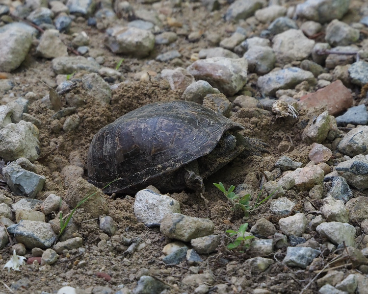 Mud Turtle laying eggs