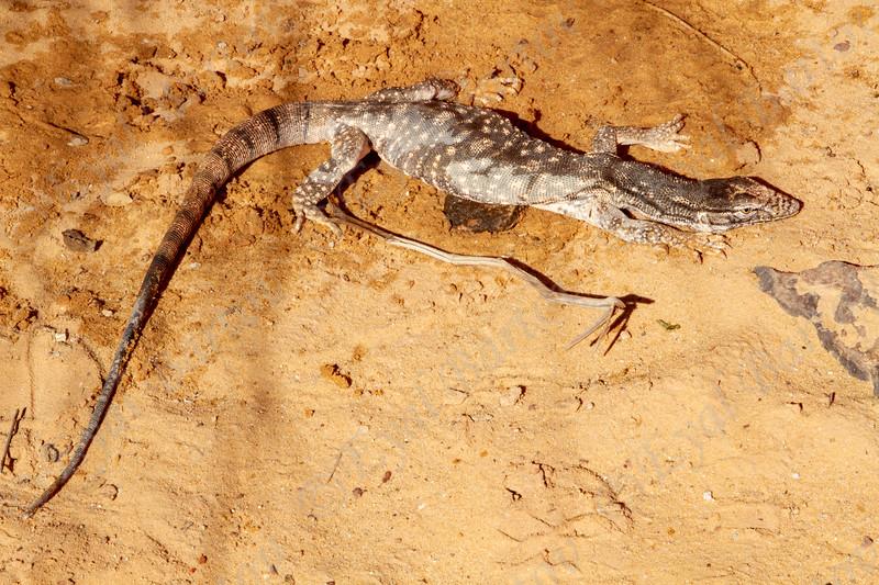 Desert Monitor, Varanus griseus כוח אפור
