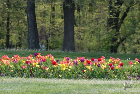 Tulips at the Jewel Box