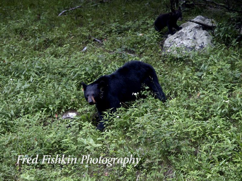 bear and cub.jpg