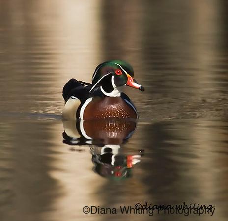 wood duck3.jpg