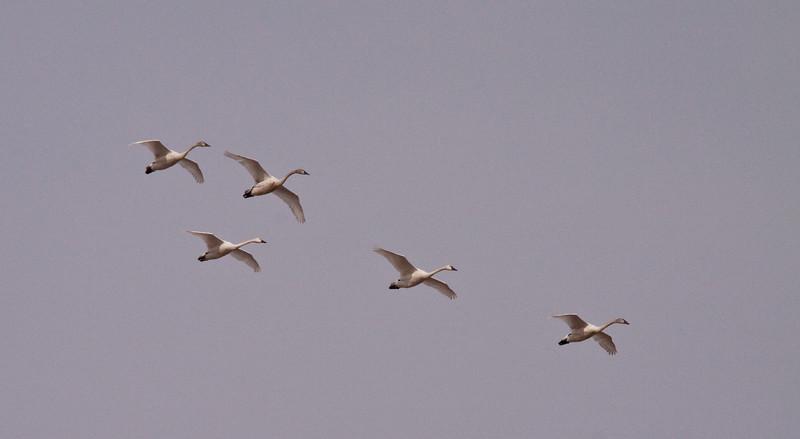 2011 swan migration aylmer (42 of 51).jpg