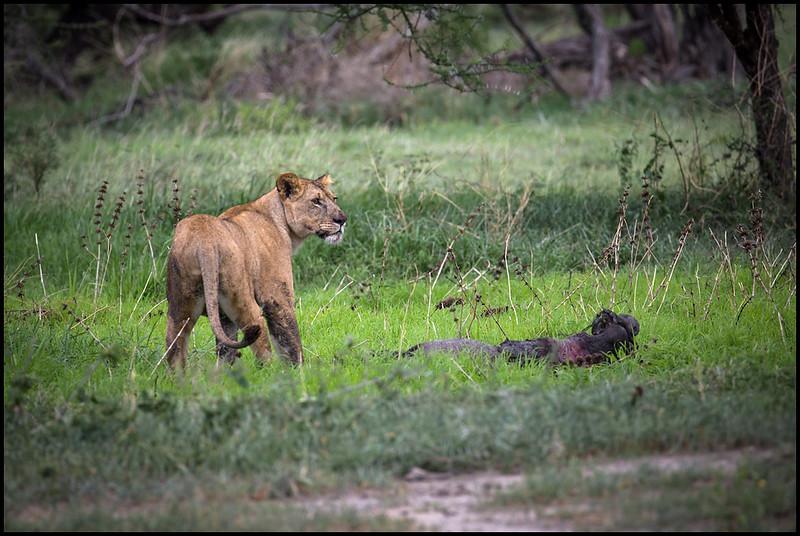 Lioness, Tarangire NP