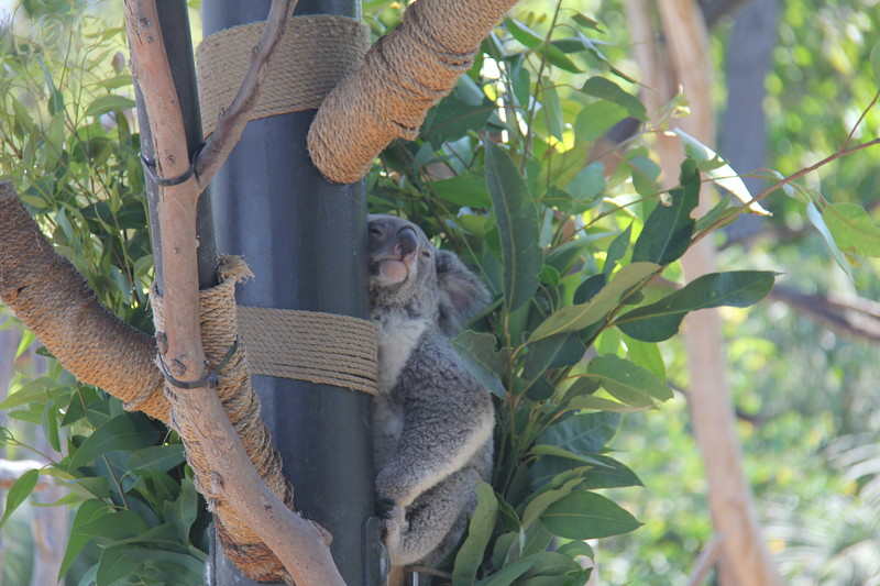 20170807-032 - San Diego Zoo - Koala.JPG