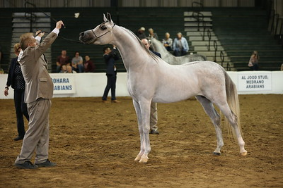 25 14 Arabian Stallions 3 & 4 Yrs. Old