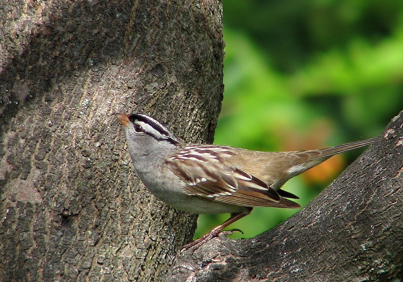 white_crowned_sparrow_1218_1.jpg