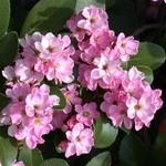 Pink Indian Hawthorne.jpg