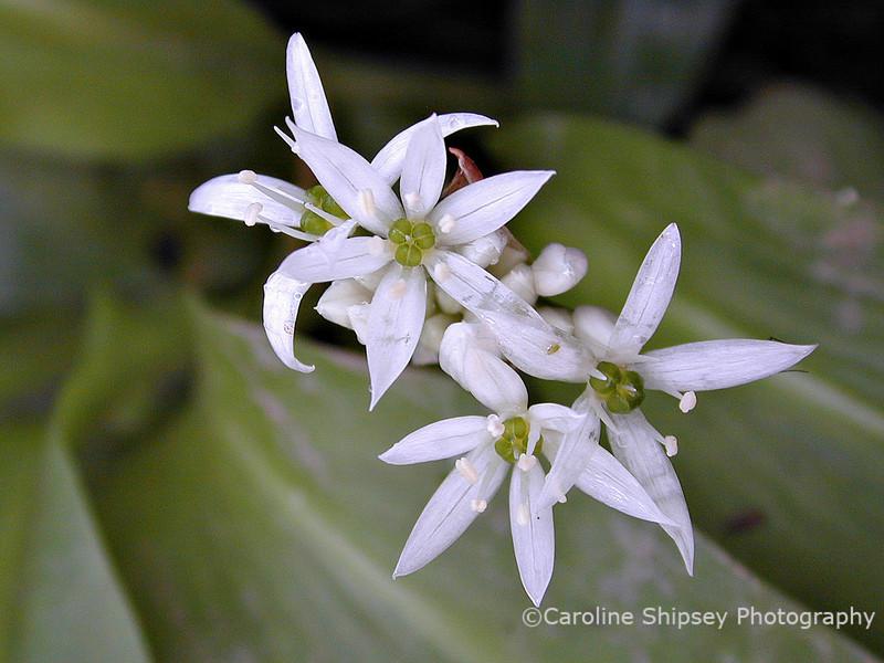 Wild garlic flowers 2