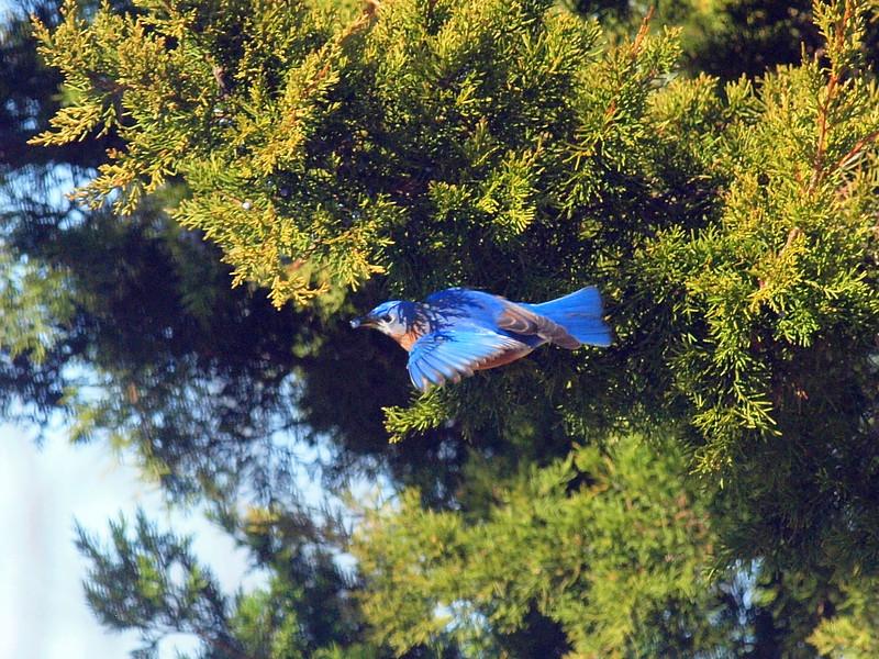 Bluebird Juniper -009.JPG