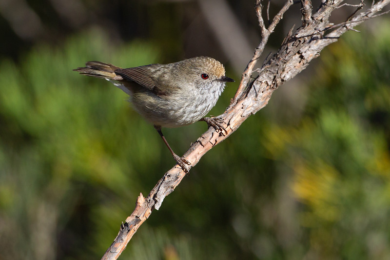 Brown-Thornbill-16_11_069999_104.jpg