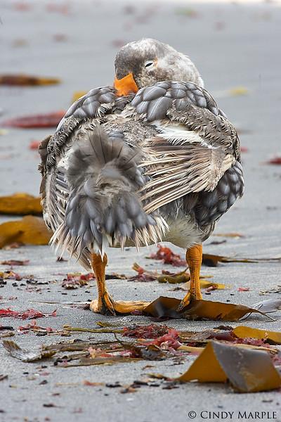 Falkland_Steamer_Duck_1.jpg